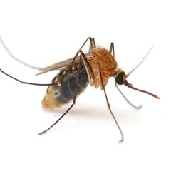Why do mosquito bites itch so much ?