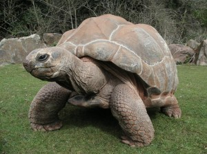 The Giant Aldebra Tortoise