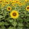 How do Sunflowers and other plants track and always face the Sun?