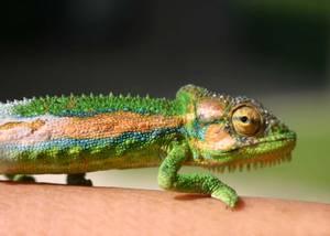 Cape_Dwarf_Chameleon