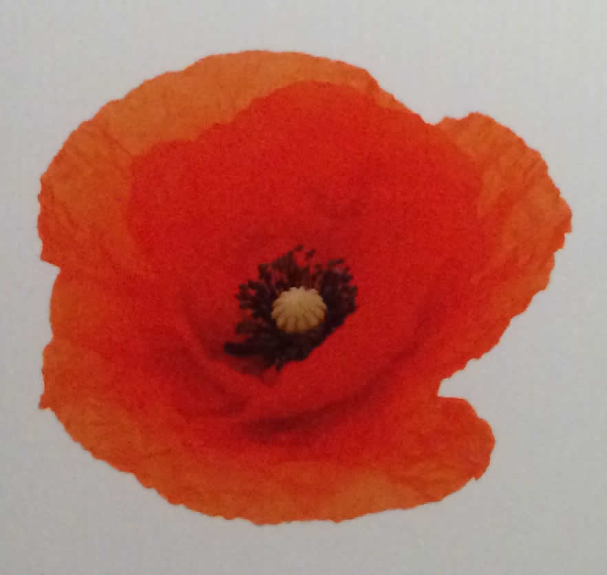 The Poppy And The Bleuet Symbols Of Enduring Rememberence