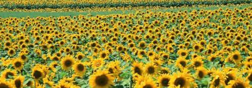 sunflower-fields-widescreen-wallpaper--wide