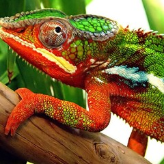 How do chameleons camouflage themselves?