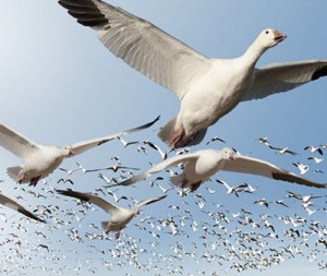 geese_migrating