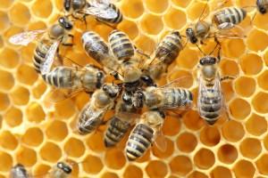 dancing-bees
