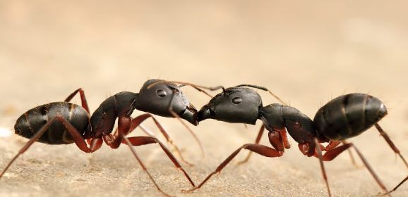 How do Ants Communicate ?