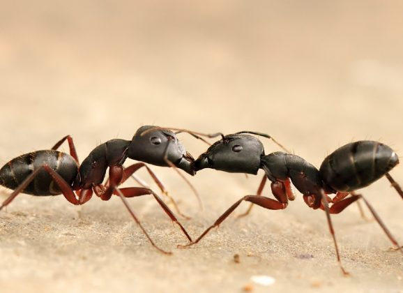 How do Ants Communicate ?