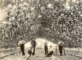 The Guernsey Grape Industry