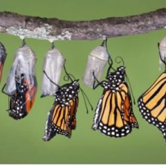How do Caterpillars turn into Butterflies ?