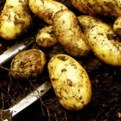 Jersey Royal – King of Potatoes
