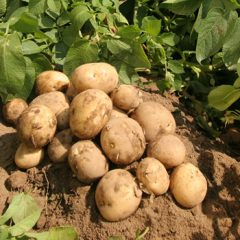 The Humble Potato – a History