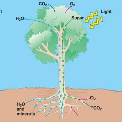 How does water from the soil reach the top of trees ?